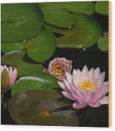 Trio Of Pink Lotus Waterlilies Wood Print