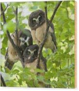 Triple Cute Saw-whet Owls Wood Print by Tim Grams