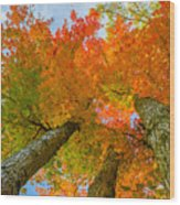 Triple The Maples Wood Print
