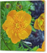 Trollius Blossom Wood Print