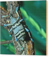 Tropical Blue Weevil Wood Print