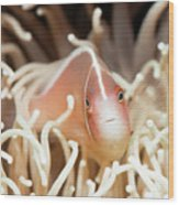 Tropical Fish Pink Clownfish Wood Print