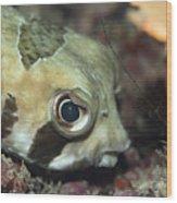 Tropical Fish Porcupinefish  Wood Print