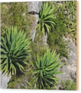 Agave Plants On Rocky Slope Wood Print