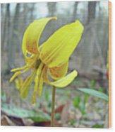 Trout Lily - Erythronium Americanum  Wood Print