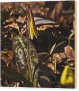 Trout Lily I Wood Print