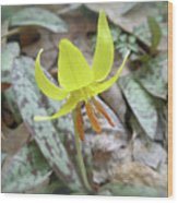 Trout Lily Wildflower - Erythronium Americanum Wood Print