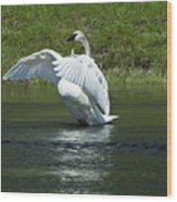 Trumpeter Swan On The Madison River Wood Print