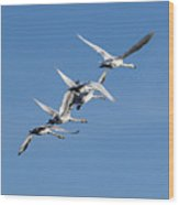 Trumpeter Swans Flying Wood Print