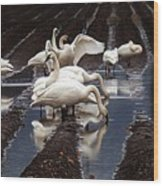 Trumpeter Swans In Bow Wood Print