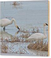 Trumpter Swans 8182 Wood Print