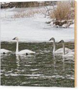 Trumpter Swans Panorama Wood Print