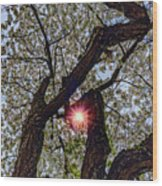 Trunk Of A Cherry Tree Blooming With White Flowers Wood Print