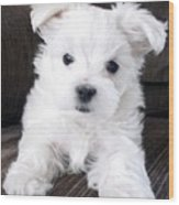 Tsheyka The Maltese Pup Wood Print