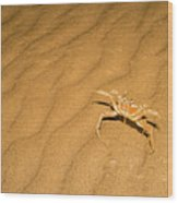 tufted ghost crab Ocypode cursor on sand Wood Print
