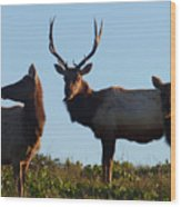 Tule Elk Bull And Harem Wood Print
