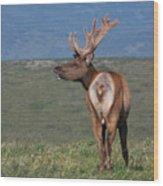 Tule Elk Bull Bugling Wood Print