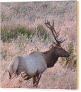 Tule Elk Bull In Grassland Meadow Wood Print
