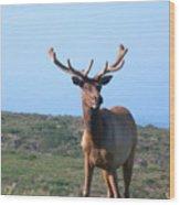 Tule Elk Bull In Grassland Near Drake's Bay Wood Print
