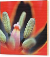 Tulip At Amatzia Forest - 5 Wood Print