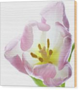 Tulip Bloom 2 Wood Print