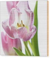 Tulip Bloom 3 Wood Print