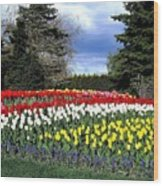 Tulip Country Wood Print