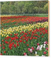 Tulip Fields Wood Print