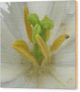 Tulip - Fringed Honeymoon Wood Print