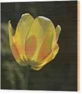 Tulip Glow Wood Print