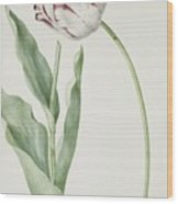 Tulip Grand Roy De France Wood Print