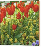 Tulip Lawn On The Flower Island Mainau. Germany. Wood Print