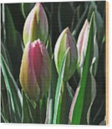 Tulip Series 3 Wood Print