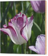Tulip Splendor Wood Print