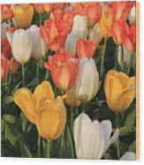 Tulips Ablaze With Color Wood Print