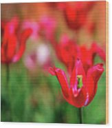 Tulips At Honor Heights Wood Print