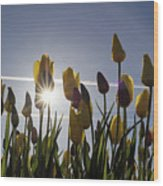 Tulips Blooming With Sun Star Burst Wood Print