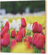 Tulips By Jared Windmuller - Tulip - Red -  Wood Print