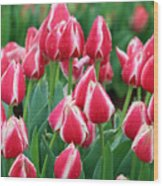 Tulips - Candy Apple Delight 02 Wood Print