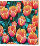 Tulips In Holland Wood Print
