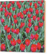 Tulips In Kristiansund, Norway Wood Print