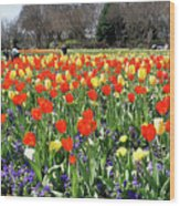Tulips In The Park. Wood Print