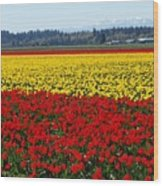 Tulips Of The Skagit Valley Wood Print