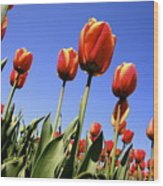 Tulips Time 3 Wood Print