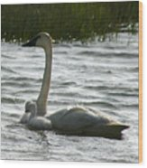 Tundra Swan And Signets Wood Print
