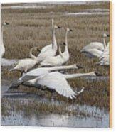 Tundra Swans Alberta Canada 3 Wood Print