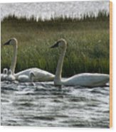 Tundra Swans And Cygents Wood Print