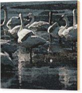 Tundra Swans Wood Print