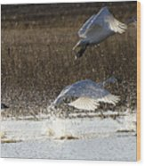 Tundra Swans Take Off 2 Wood Print