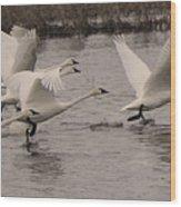 Tundra Swans Take Off Wood Print